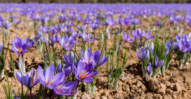 The cultivation of saffron