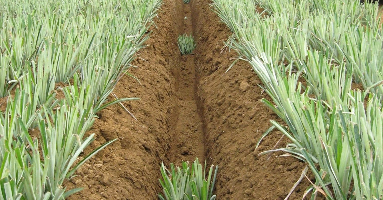 Pineapple cultivation detail with Cosmeco machinery