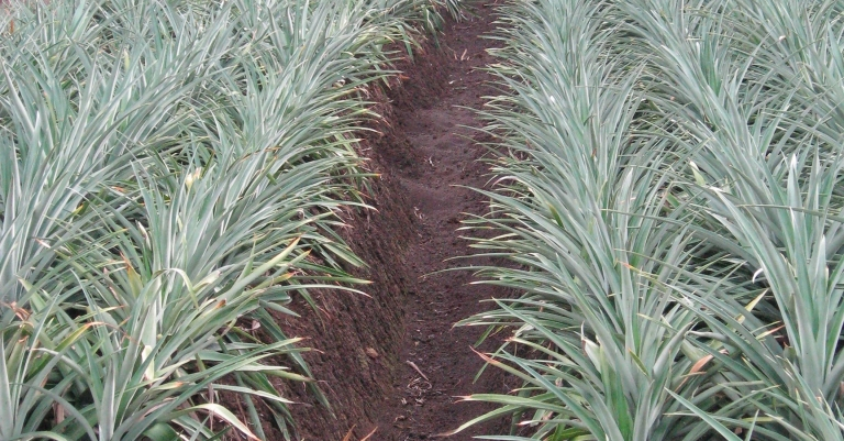 Pineapple field detail cultivated with Cosmeco machinery