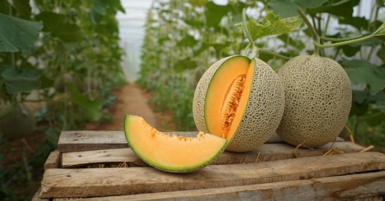 Quali macchinari sono utili per la coltivazione del melone?